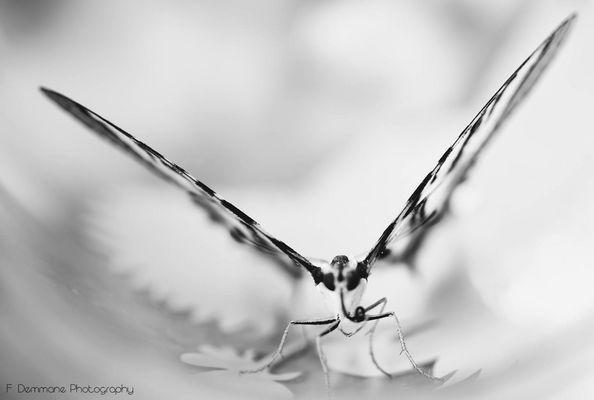 Papillon N.B.