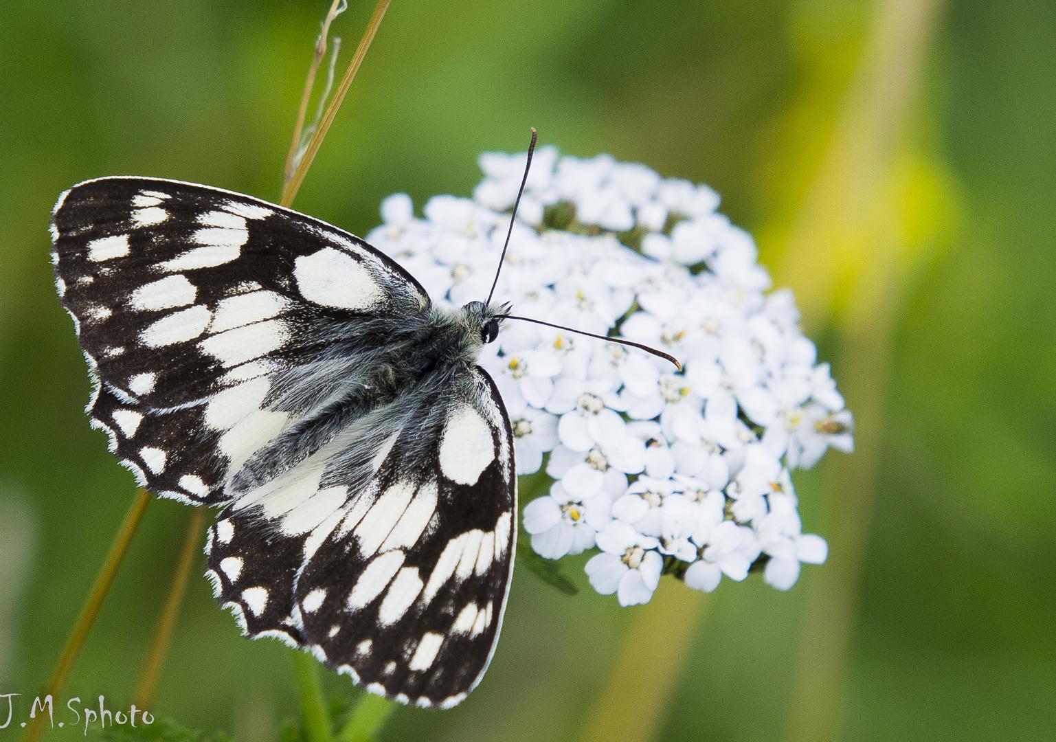 papillon noir et blanc photo et image macro nature macro insectes papillons images fotocommunity. Black Bedroom Furniture Sets. Home Design Ideas