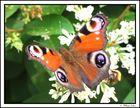 """Papillon """" Paon """""""