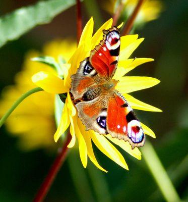 papillon- paon du jour
