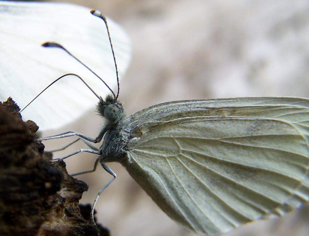 papillon peu farouche