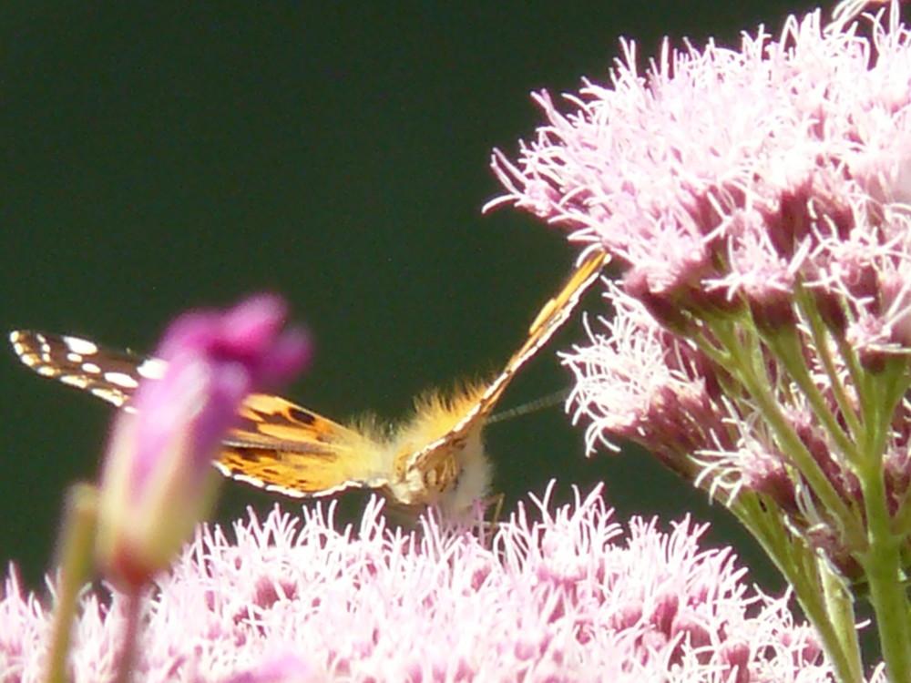 papillon prend son envol