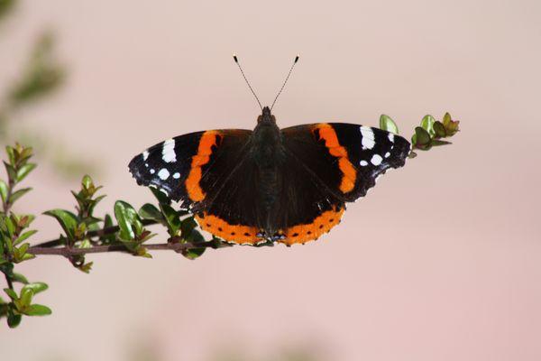 Papillon - Robert le diable