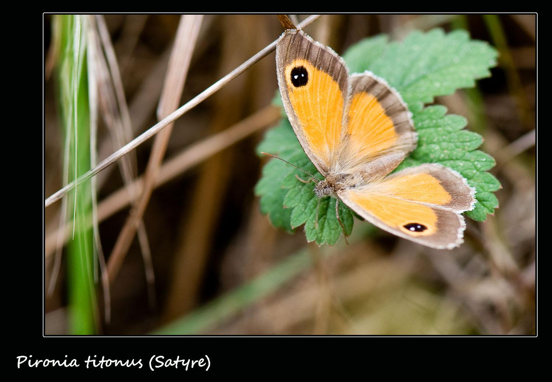 Papillon satyre