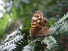 papillon sauvage!