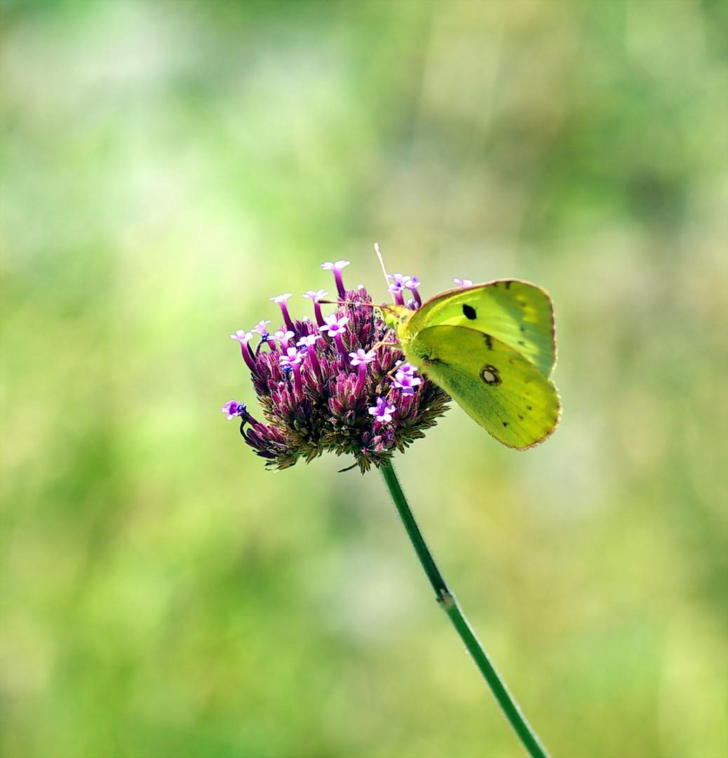 papillon souci