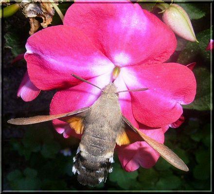 papillon sphinx 1