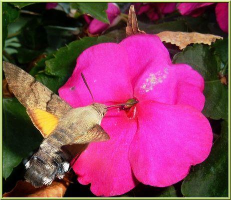 papillon sphinx 2