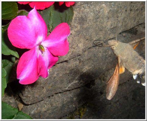papillon sphinx 3