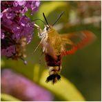 Papillon : Sphinx gazé et buddléia (3)