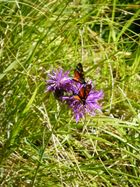 Papillon Sur des fleurs des alpes