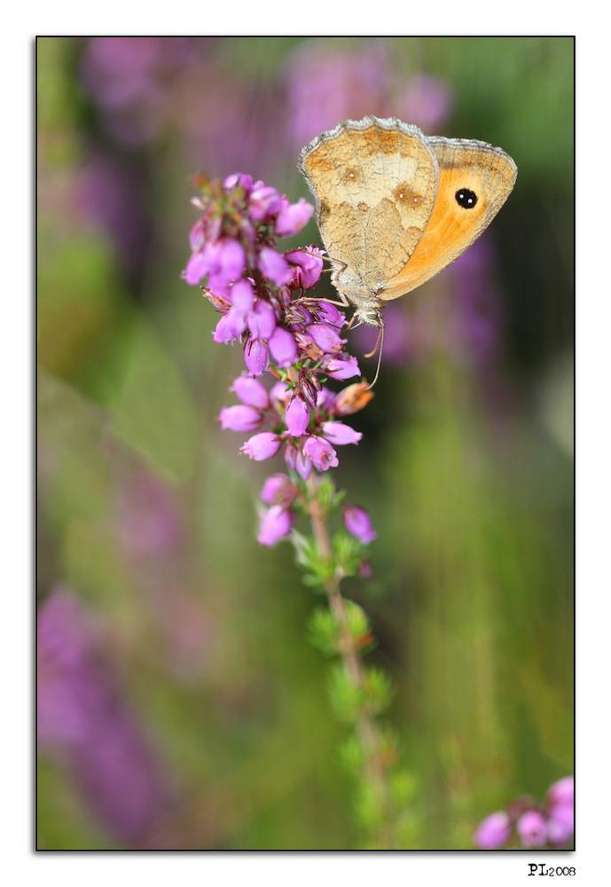 papillon sur fleur de bruyère...