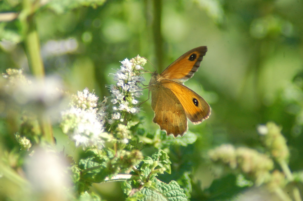 papillon sur fleur de menthe