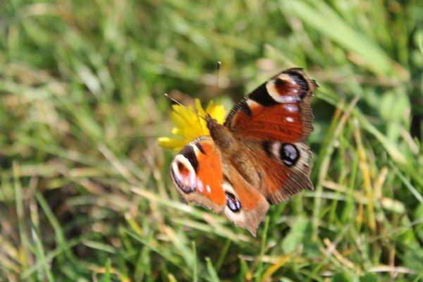 Papillon sur fleur de pissenlit