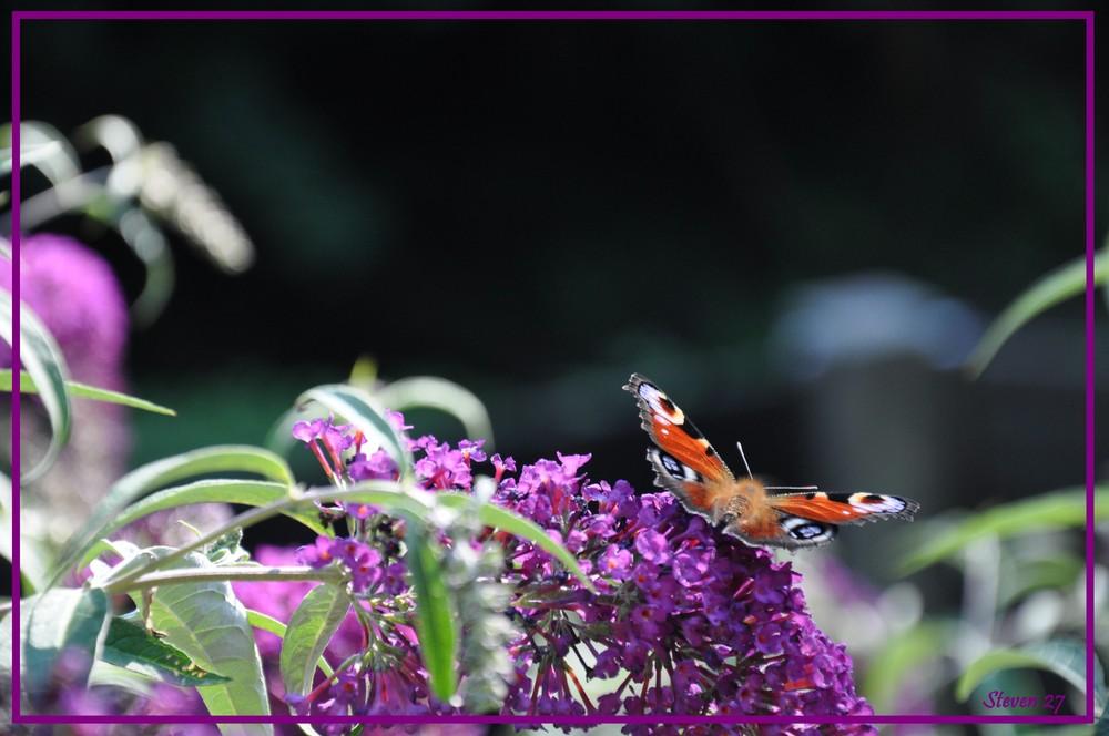 Papillon sur un Buddleja
