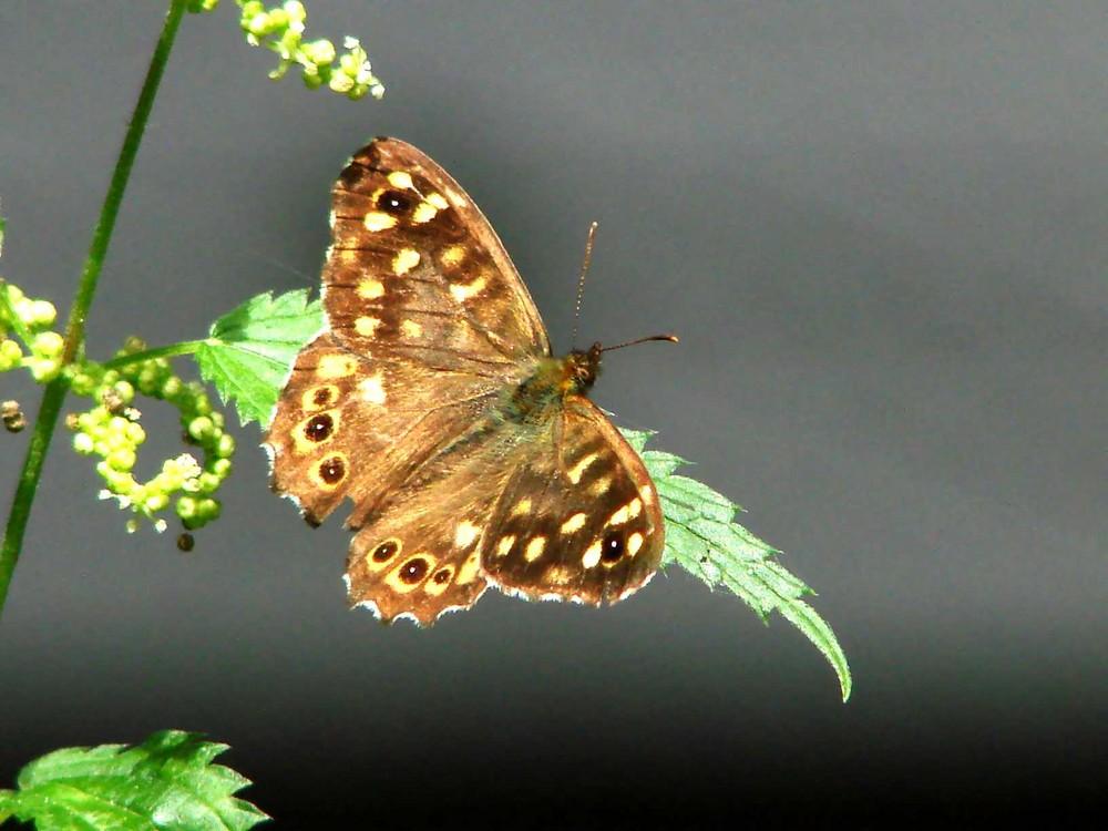 Papillon Tircis  (merçi Marc)