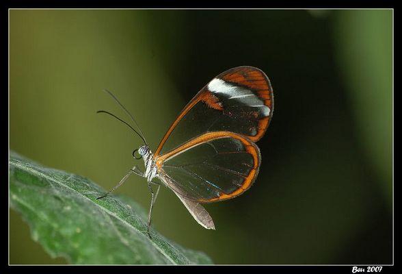 Papillon transparent.