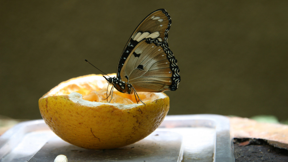 PAPILLON ...TRES GOURMAND ...