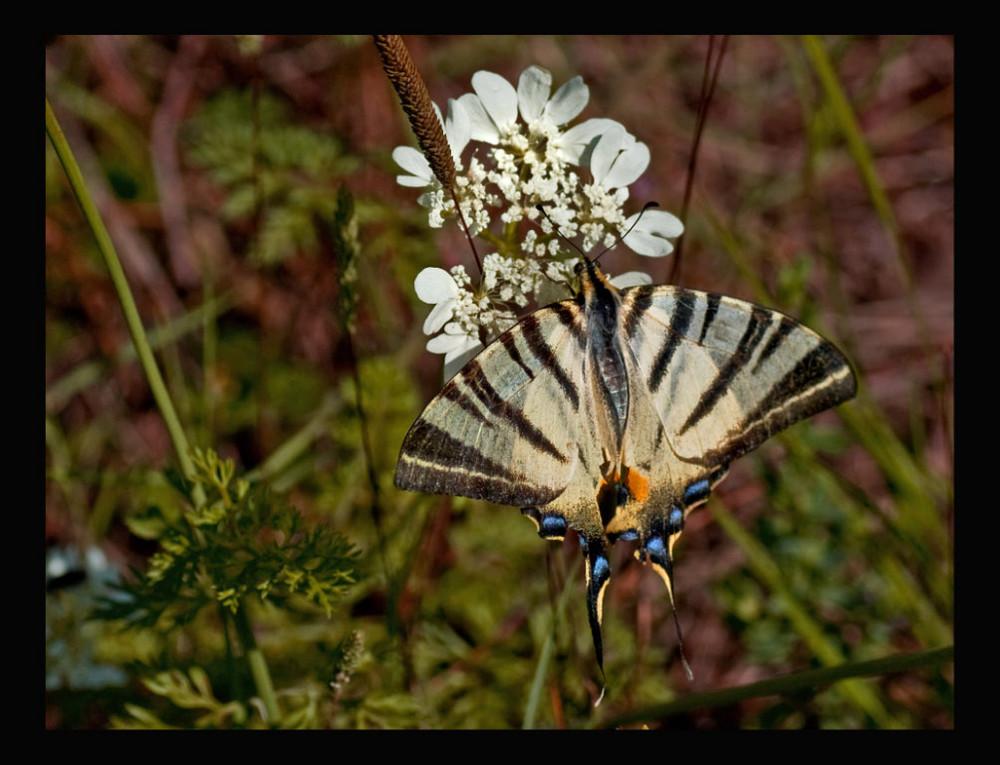 Papillon x