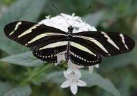 papillon11