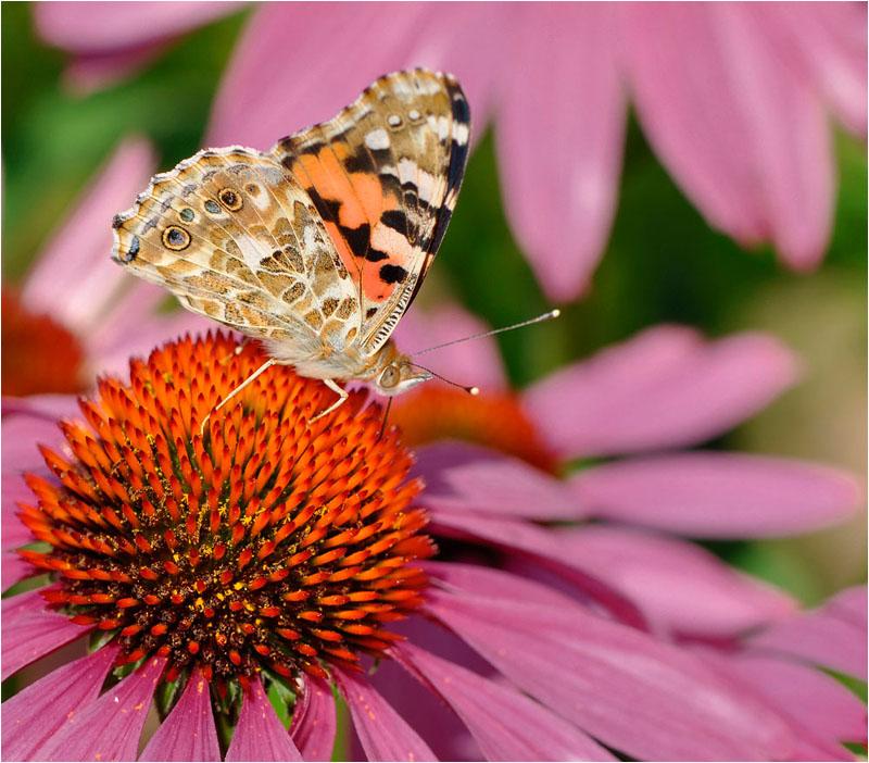 papillon2