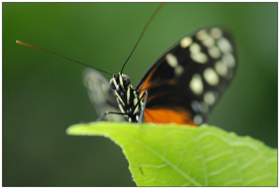 Papillon3
