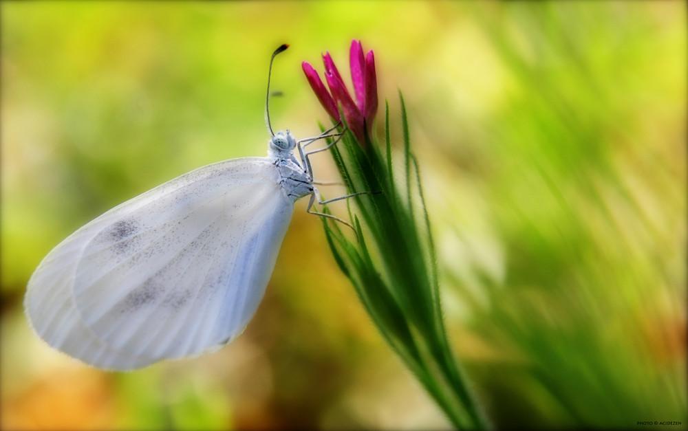 papillon5