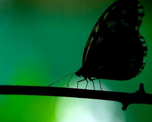 papillonidae d'Indonésie