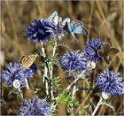 papillons azurés