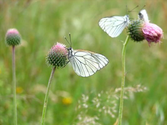 papillons chardons