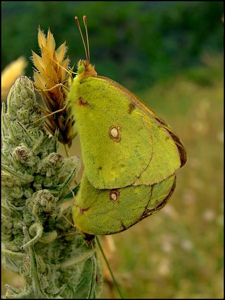 Papillons citrons ....   Non  des  soufrés !!