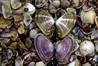papillons-coquillage