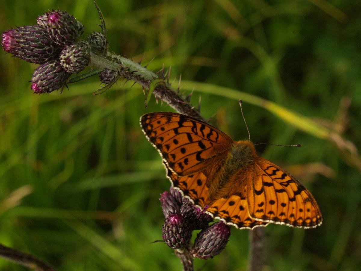 papillons parade 2