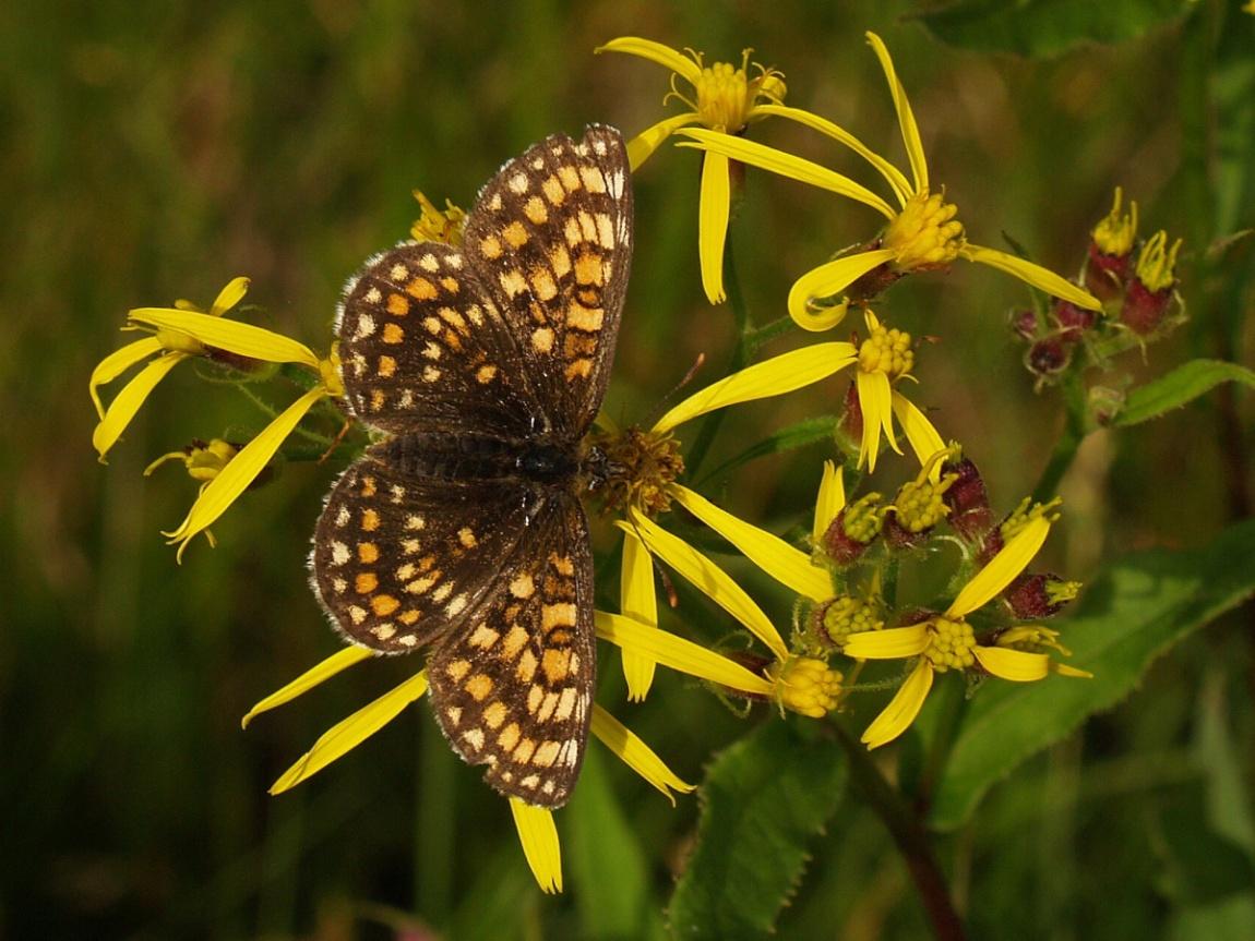 papillons parade 3