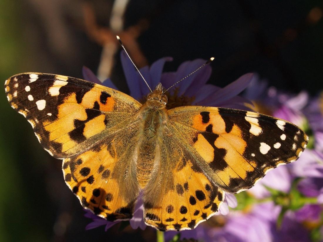 papillons parade 4