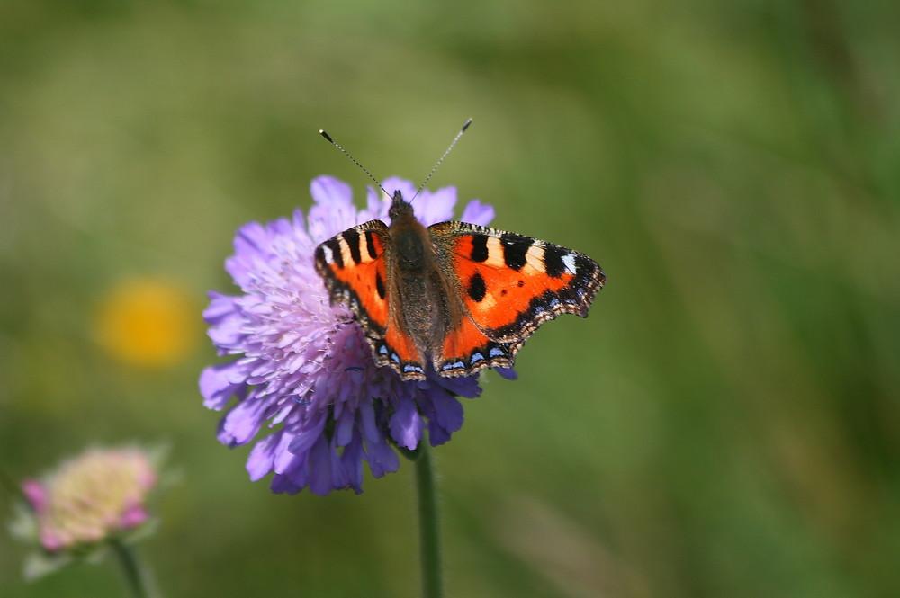 papillons qui fait sont repas