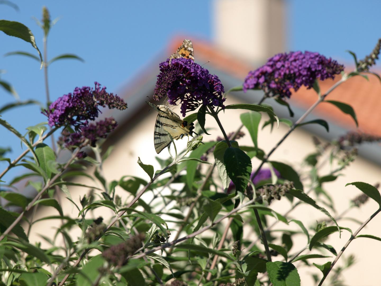 papillons se separe