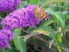 Papillons sur fleur