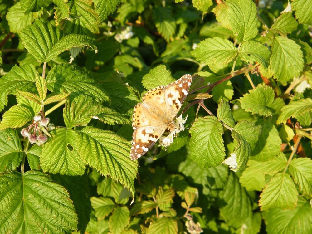papillons sur framboisier