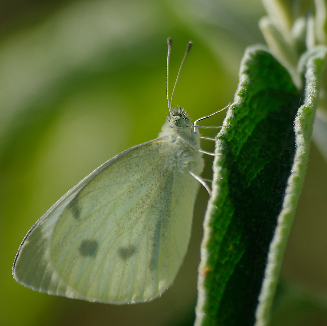 Papillonus blancus !