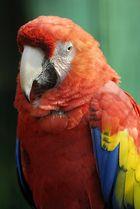 pappagallo multicolor