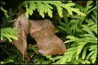 Pappelschwärmer - Laothoe populi