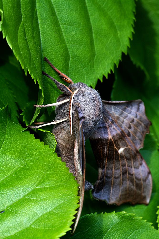 Pappelschwärmer Wissenschaftlicher Name: Lathoe populi