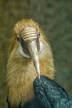 Papua Hornvogel 2