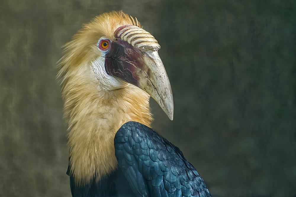 Papua Hornvogel