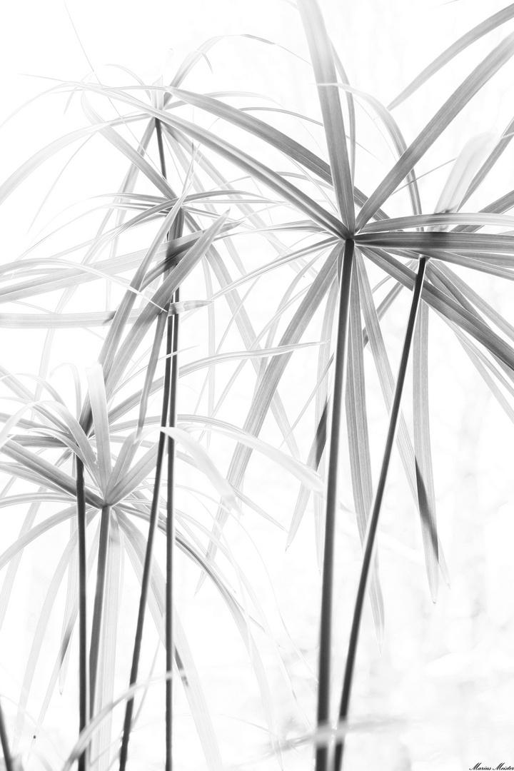 Papyrus- schwarz auf weiß