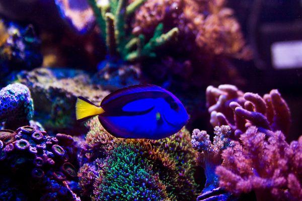 Paracanthurus hepatus - Paletten Doktorfisch