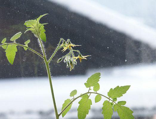 Paradeisblüte vor winterlichem Hintergrund