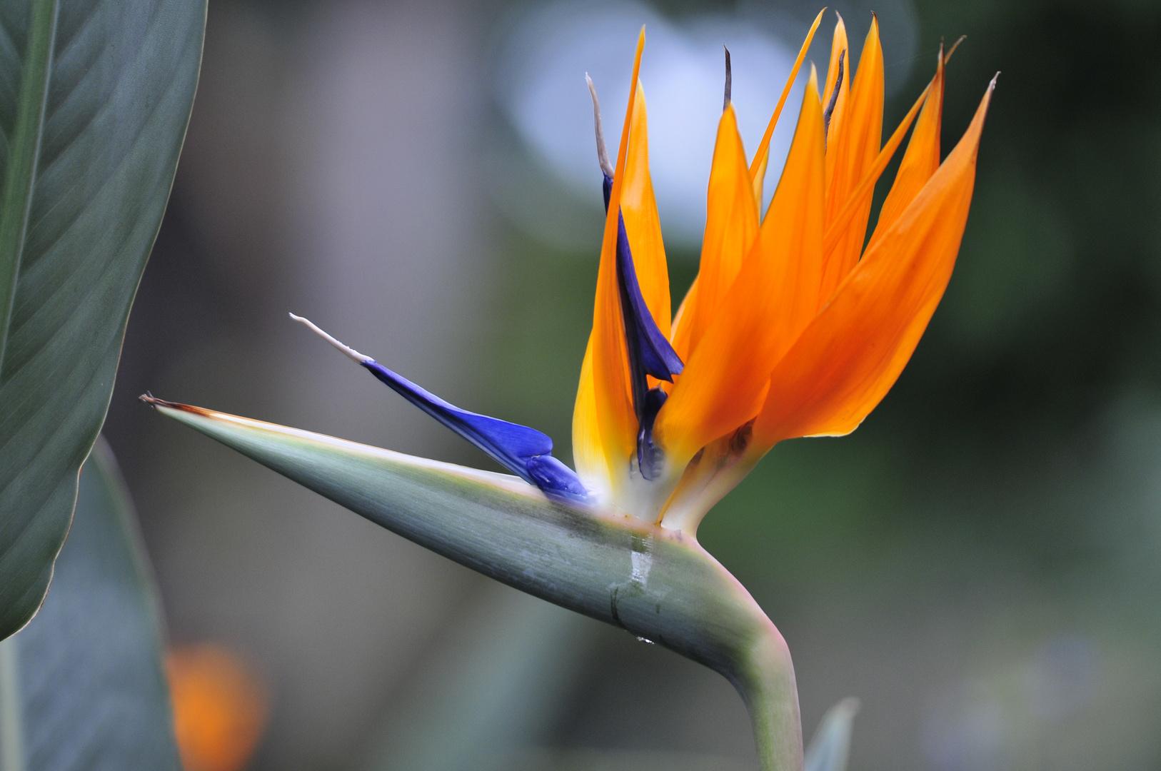 Paradiesvogelblume