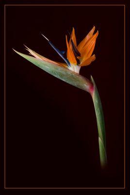 Paradiesvogelblume ( Strelitzia reginae )